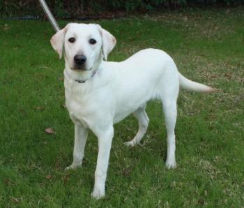 Labrador Retriever_AKC_Puppies Southern California for sale, O F A